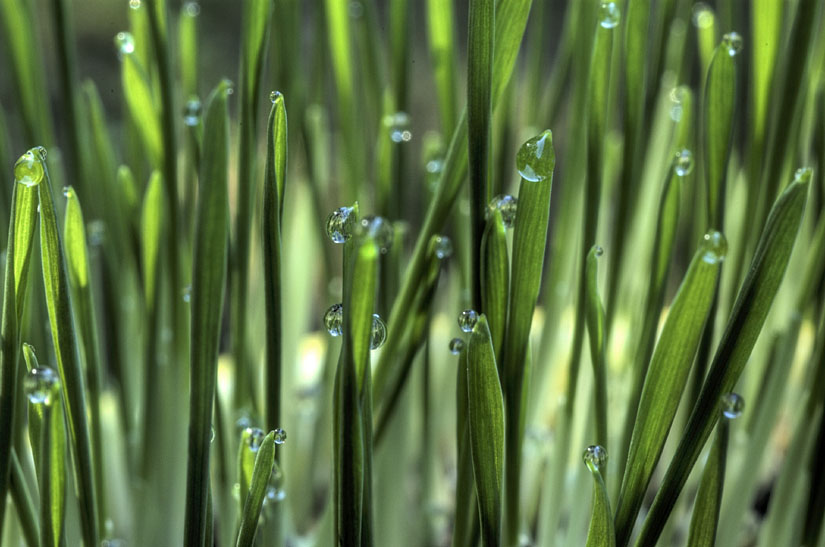 Cat Grass & Dew Drops